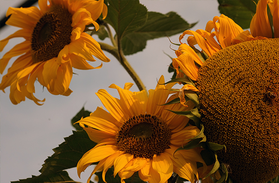 community-garden-sunflowers